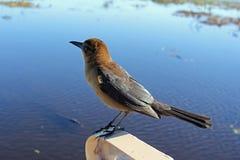 Pájaro de Brown encaramado sobre Sunny Everglades Water foto de archivo libre de regalías