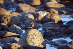 Pájaro de Brown que se sienta en roca en el borde del océano Foto de archivo