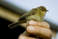 Pájaro de Chiffchaff Imagen de archivo libre de regalías
