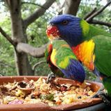 Pájaro de Collered Foto de archivo libre de regalías