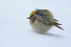 Pájaro de congelación en nieve Foto de archivo libre de regalías