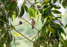Pájaro de Conkouati: Fuliginosa de Chalcomitra, Congo Imagenes de archivo
