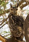 Pájaro de Eagle Owl del eurasiático Fotos de archivo