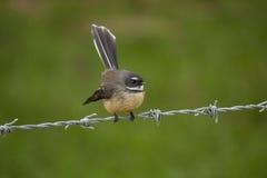 Pájaro de Faintail Fotografía de archivo libre de regalías