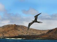 Pájaro de fragata Imágenes de archivo libres de regalías