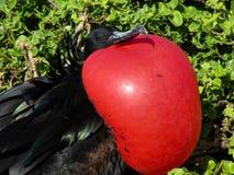 Pájaro de fragata Fotos de archivo