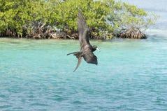 Pájaro de fragata, calafate de Caye, Belice fotos de archivo libres de regalías