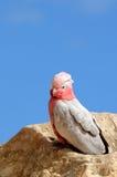 Pájaro de Galah del australiano con la cabeza y el penacho rosados fotos de archivo