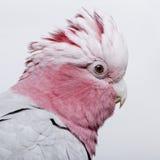 Pájaro de Galah - roseicapilla de Eolophus (19 meses) Fotografía de archivo libre de regalías