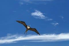 Pájaro de Gannet mientras que vuela Fotos de archivo libres de regalías