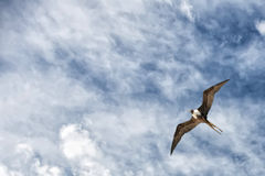 Pájaro de Gannet mientras que vuela Imagen de archivo