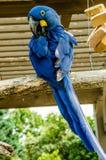Pájaro de Hyacinth Macaw Imágenes de archivo libres de regalías