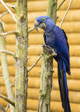 Pájaro de Hyacinth Macaw en el árbol Foto de archivo libre de regalías