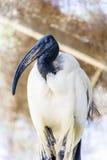 Pájaro de Ibis sagrado del africano con el pico negro largo Fotos de archivo libres de regalías