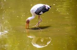 Pájaro de Kabbaw Imagenes de archivo