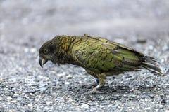 Pájaro de Kea Fotos de archivo libres de regalías