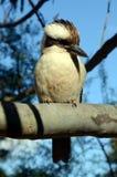 Pájaro de Kookaburra en árbol de goma Fotografía de archivo
