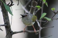Pájaro de Kwe Kwe fotografía de archivo libre de regalías