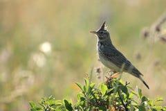 Pájaro de la alondra Fotografía de archivo