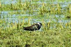 Pájaro de la avefría en la hierba verde, Lituania fotos de archivo