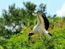 Pájaro de la cigüeña de madera encima del árbol en humedales Imágenes de archivo libres de regalías