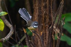 Pájaro de la cola de milano de Nueva Zelandia en un árbol en Coromandel fotografía de archivo