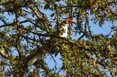 Pájaro de la cuenta del cuerno Fotografía de archivo libre de regalías