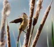 Pájaro de la curruca Fotografía de archivo