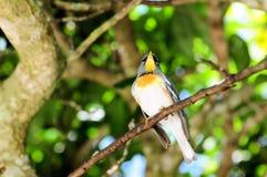 Pájaro de la curruca de la magnolia Imagenes de archivo