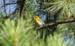 Pájaro de la curruca del pino en el árbol de pino de Loblolly, Georgia los E.E.U.U. Fotografía de archivo libre de regalías