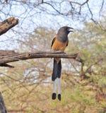 Pájaro de la empanada del árbol Imagen de archivo libre de regalías