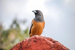Pájaro de la empanada del árbol en el parque nacional de Ranthambore, la India Imágenes de archivo libres de regalías