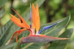 Pájaro de la flor de paraíso Fotos de archivo