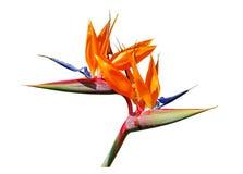 Pájaro de la flor de paraíso Foto de archivo libre de regalías