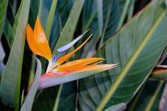 Pájaro de la flor de paraíso Fotos de archivo libres de regalías