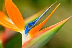 Pájaro de la flor de paraíso Fotografía de archivo libre de regalías