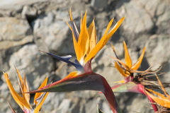 Pájaro de la flor de paraíso Foto de archivo