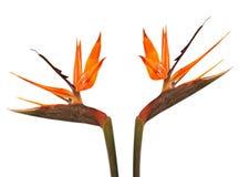 Pájaro de la flor de paraíso (Strelitzia) foto de archivo libre de regalías