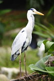 Pájaro de la garza imagen de archivo