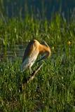 Pájaro de la garza Fotos de archivo