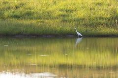 Pájaro de la garza Fotografía de archivo