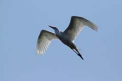 Pájaro de la garza de gran azul Fotografía de archivo libre de regalías