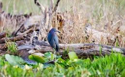 Pájaro de la garza de pequeño azul, reserva del nacional de Okefenokee foto de archivo libre de regalías