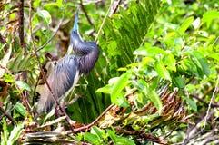 Pájaro de la garza de Tricolored en plumaje de la cría Imagen de archivo