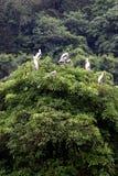 Pájaro de la garza encaramado en un árbol. Imagen de archivo