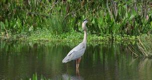 Pájaro de la garza de gran azul Fauna la Florida EE.UU. metrajes