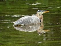 Pájaro de la garza de gran azul que descansa sobre el agua fotos de archivo libres de regalías