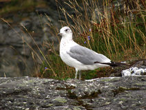 Pájaro de la gaviota Foto de archivo libre de regalías