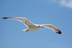 Pájaro de la gaviota del vuelo Imagen de archivo libre de regalías