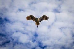 Pájaro de la gaviota del vuelo Foto de archivo